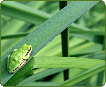 A Pacific Tree Frog on a blade of grass in Outerbridge Park