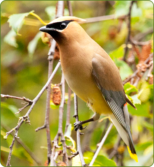 A close-up image of a Cedar WaxWing